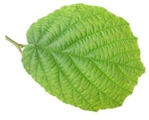 hazel-leaf