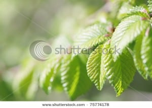 stock-photo-young-fresh-spring-beech-tree-leaves-75774178
